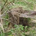 Wilde pastinaak uitgraven met schep